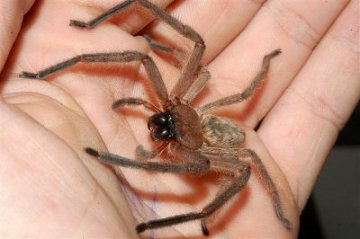 "The Huntsman spider -- the ""small"" ones used in the movie. used in the movie. [Small my ass.] (source)"